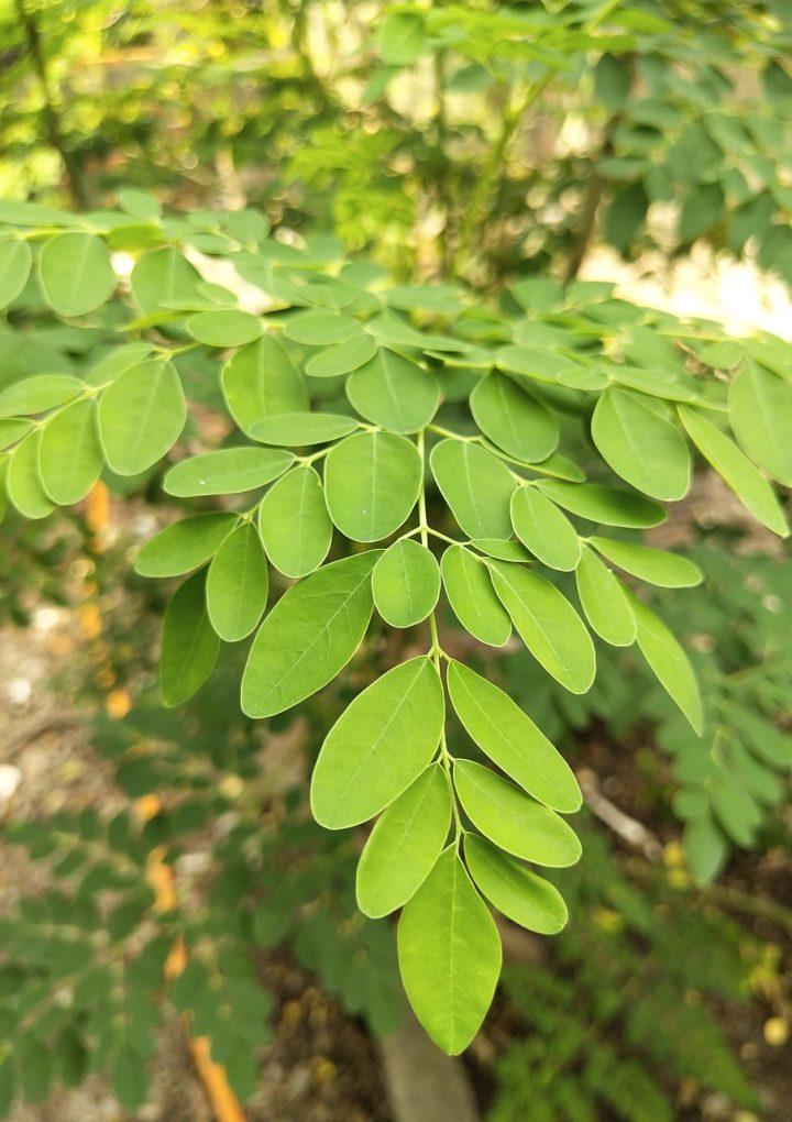 Moringa to najlepszy suplement diety zawierający niezbędne witaminy